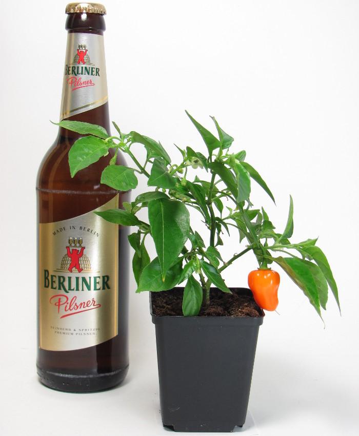 Pflanzenpräparat und (andere) Pflanze: Vereint in der Wirkung (Hochgefühl) und Nebenwirkung (Brand) Quelle: Sash